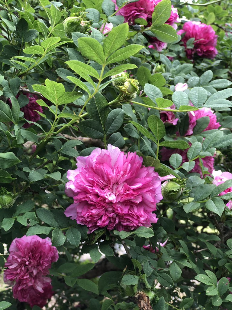 お疲れ様です✨  昨日 夜勤明けだったあたしは12時間以上眠り続けて 今朝4時に目が覚めました😆  我が家の池の横に義父が植えた八重山椒バラがあります。 香りはありませんが和風の庭にしっくりくるバラです。
