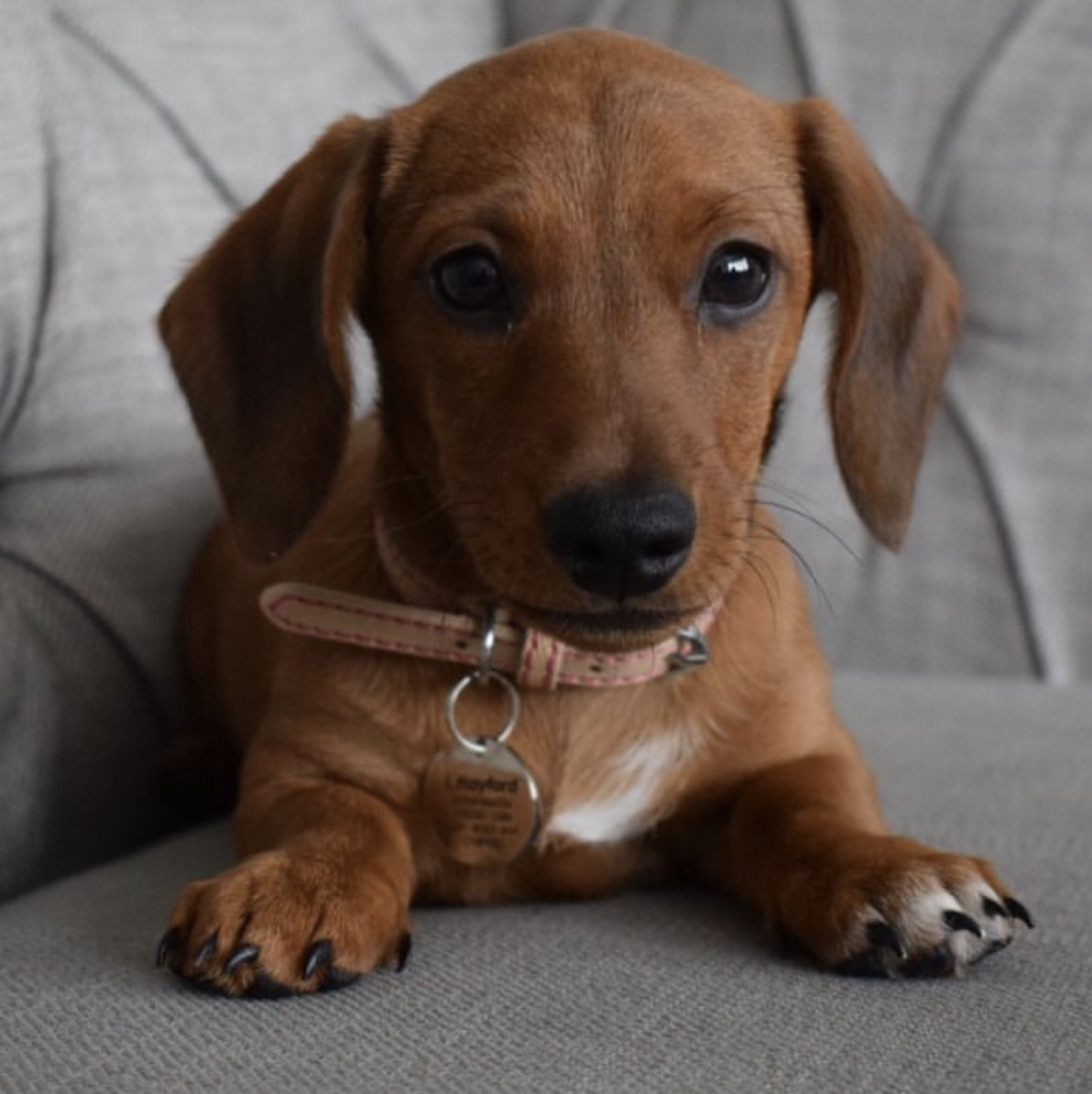 How adorable is Lady in her Rosewood Collar, what a perfect fit! 😍❤️🐾  Thanks for the snap Lady  📸: @all_lady_no_tramp_x  #Rosewoodpet #rosewoodpuppy #puppy #cutie #minisausage #Lady #love #cute #puppiesofinstagram #puppylove #