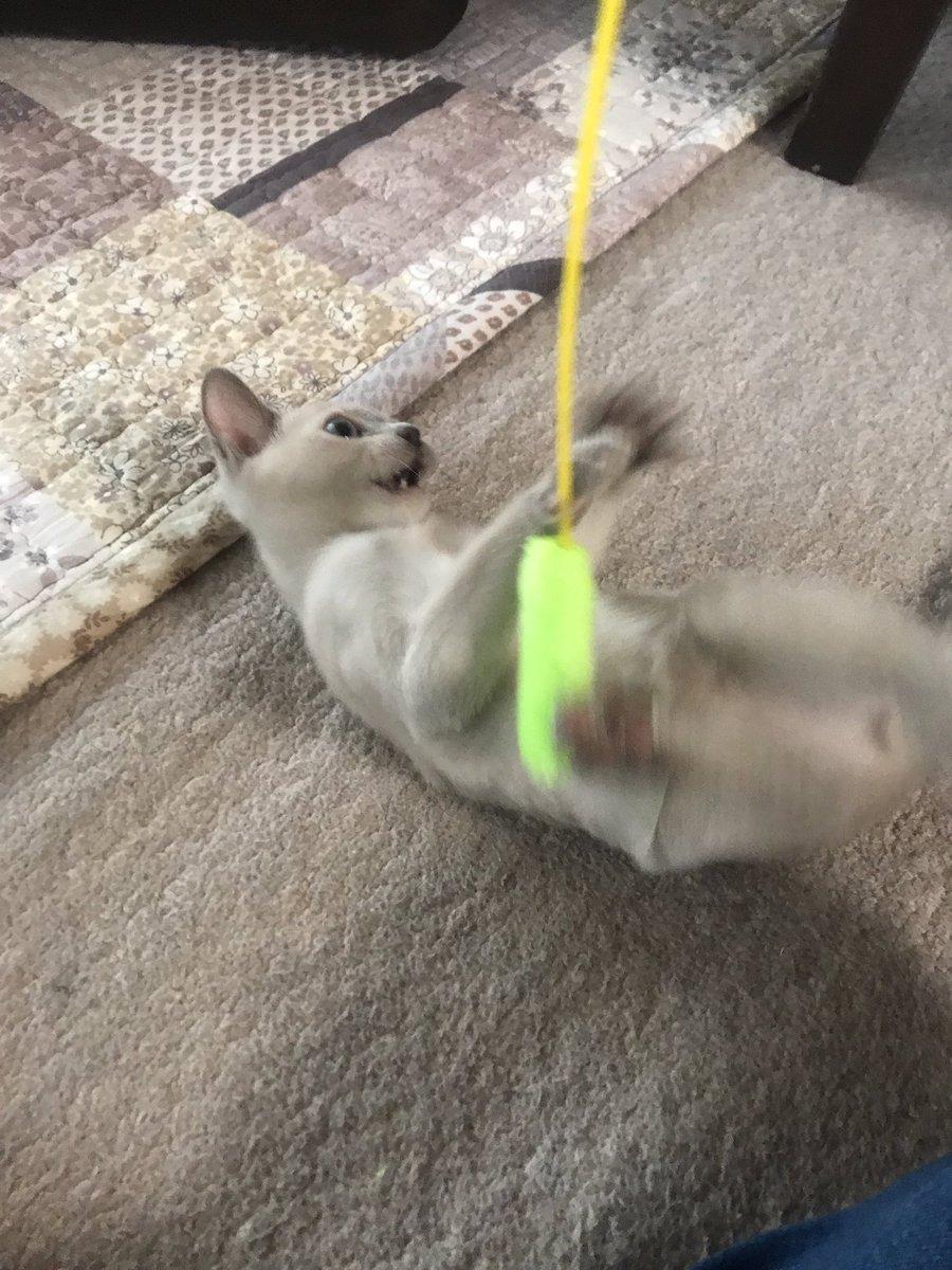 test ツイッターメディア - 百均の猫じゃらしめっちゃ食いつく #トンキニーズ #猫のいる暮らし #ダイソー https://t.co/gNgeUmbBwF