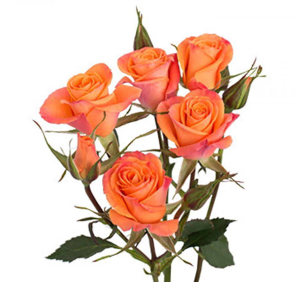 Цветы оптом в оранжевом цвете, орхидей розовых