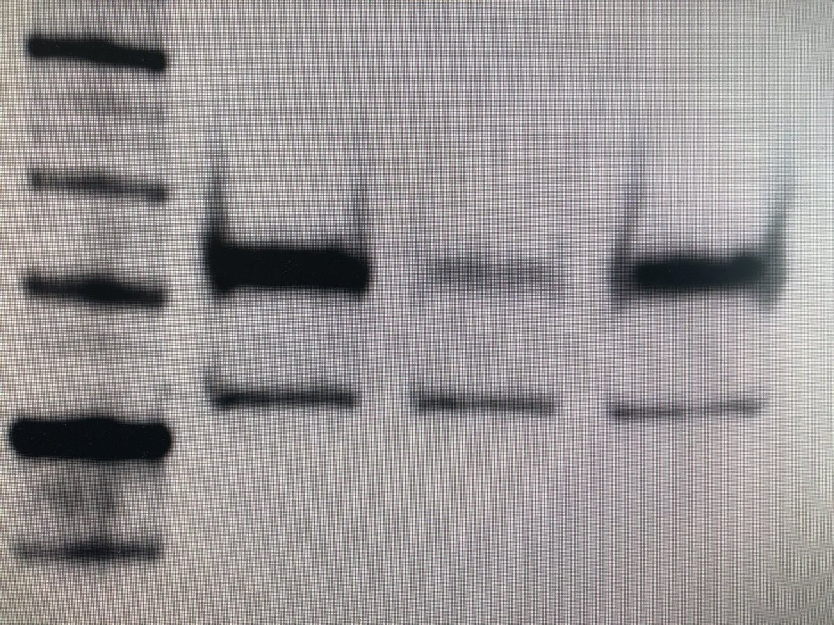 I just need to tell the world! 🥳 After weeks of struggling with one #westernblot, finally got it to work. Then today I started working on a new one, with new antibodies, and tadaaa! It just worked! Instantly! It's... it's like magic! #phdlife #toomanyhoursinthelab
