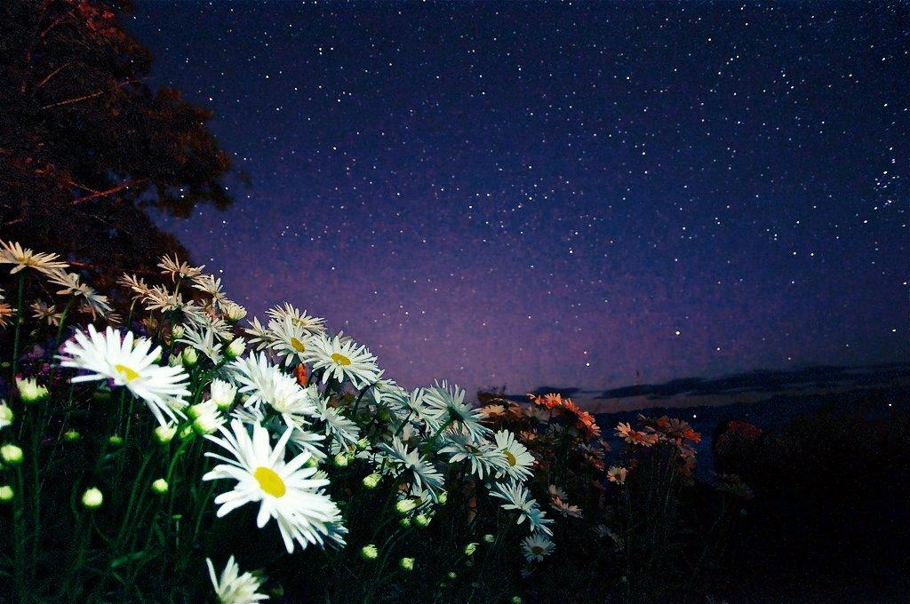 Картинки с ромашками спокойной ночи