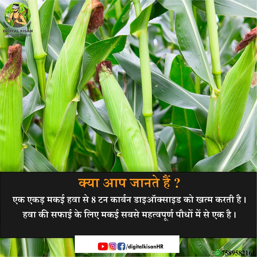 #digitalkisan #digitalkisanharyana  #funfacts #didyouknow #maize #corn #CO2 #airpurifier #doyouknow #haryana #maizeproduction #staplefood #wheat #paddy #jalhijiwanhai #pmfby #farmers #maizefarming #maizemarket #farmersmarket #agriculture #indianagriculture #agriknowledgepic.twitter.com/Td8gcsrlsy