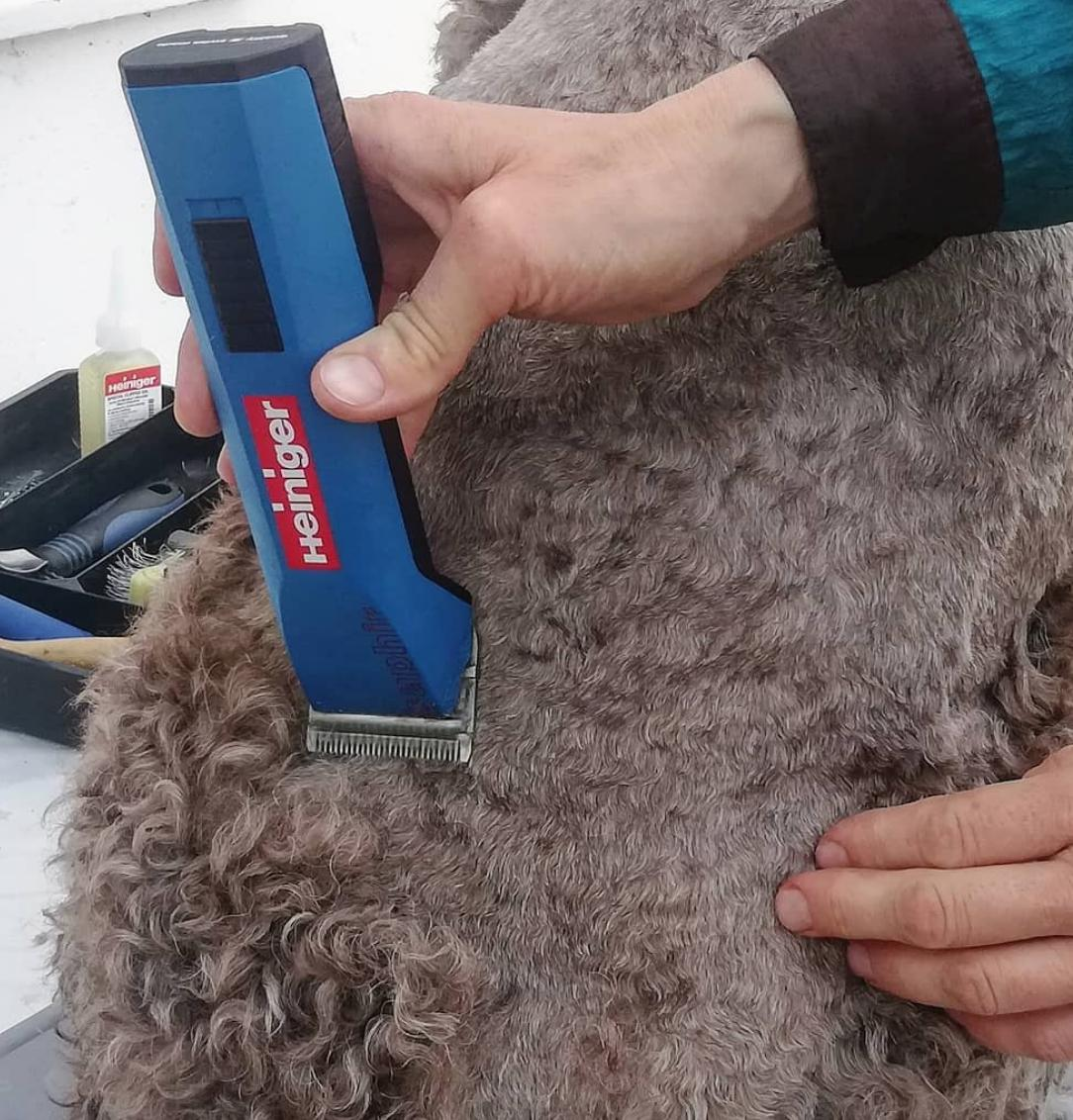 The Heiniger Saphir working its magic on @lagotto15 - a fantastic clipper for dog grooming, and nice and quiet/low vibrations too     https:// buff.ly/2WHCI7l      #doggrooming #lagotto #heiniger #heinigersaphir #dogclipper #doggroomer #dogclipping #doggroomingsalon #clippersharp<br>http://pic.twitter.com/v5Azzcpq51