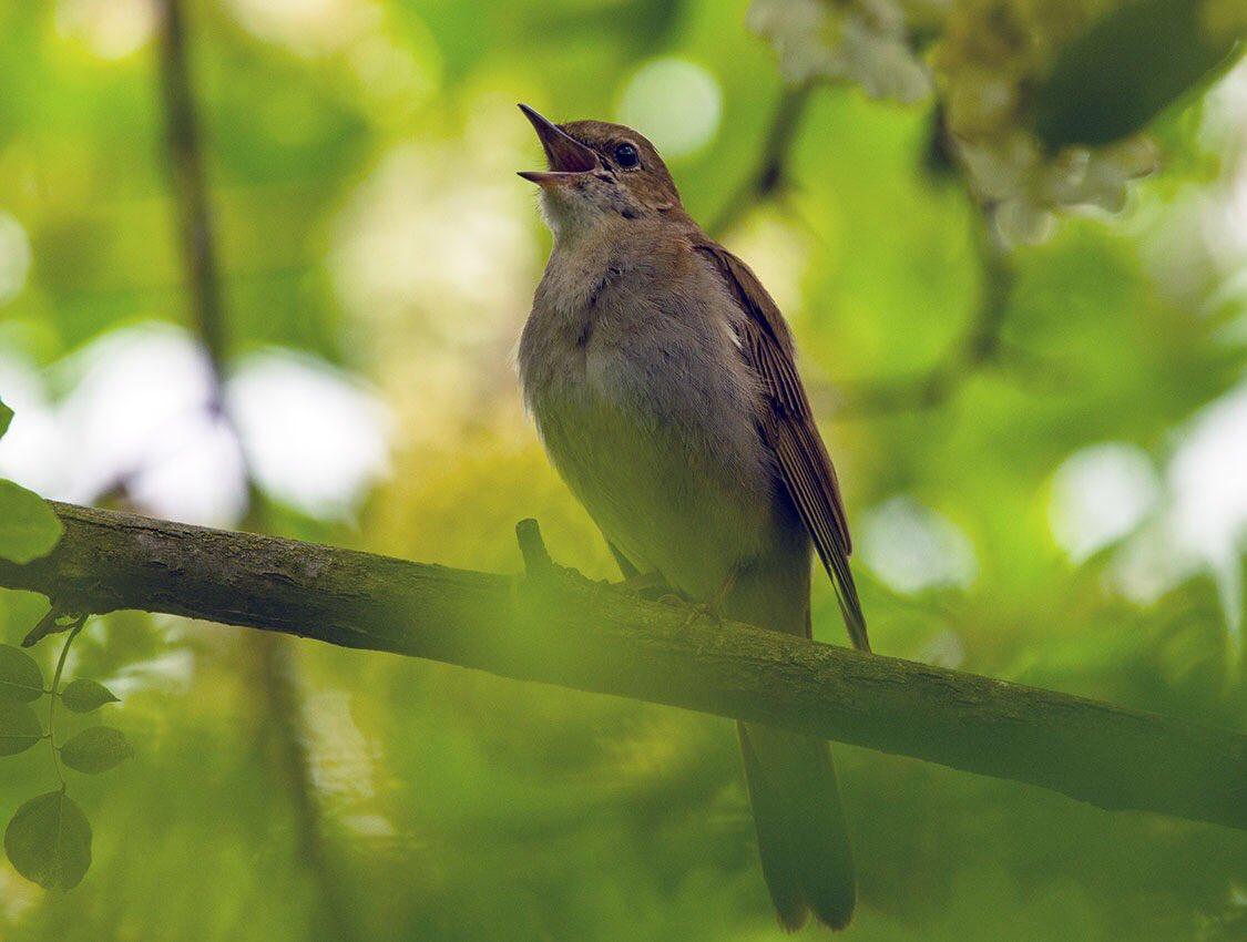 Птичка соловей в картинках