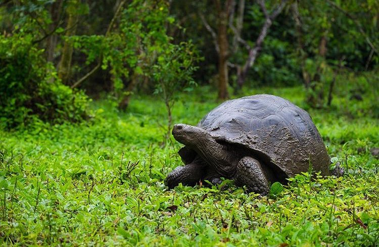 A grand Galapagos Tortoise crawls blissfully through the lush jungle terrain. 🐢  #LionsShare enables the corporate world to make a contribution each time an animal appears in their ads. An easy way to raise money for wildlife conservation and animal welfare.   📸: Julie Aucoin