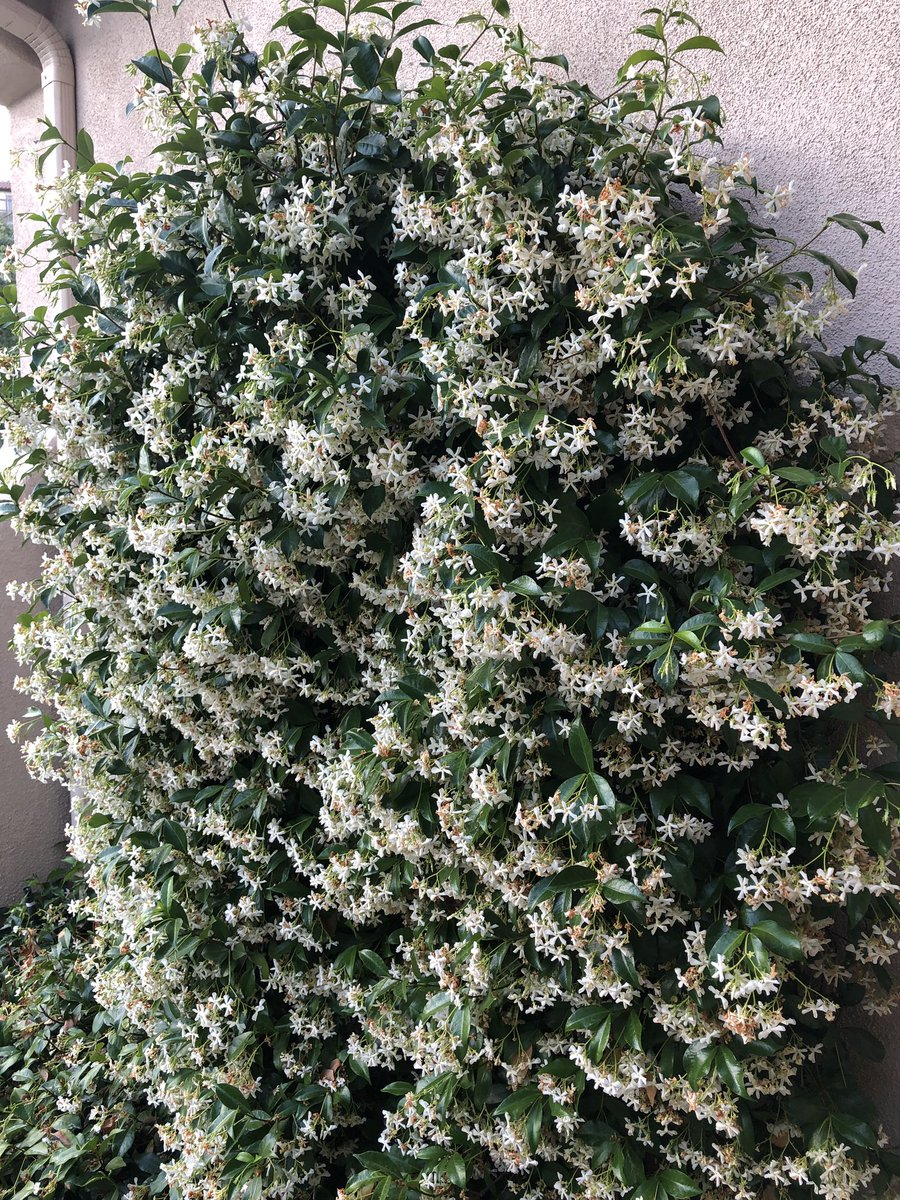 test Twitter Media - Can you believe how great my jasmine are doing? Aaahhh... these beauties have gotta be one of my favorite scents of summer, and florals in general as well... 🌱🥰☀️ https://t.co/DnUYW5OUv0