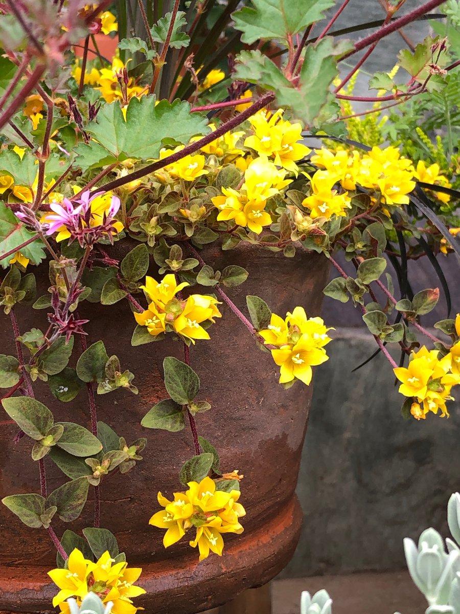 おはようございます✨  今年もリキマキシアが元気に咲いてくれました。 数年前から寄せ植えしっぱなしで💦💦💦 今年こそ植え替えして大きくしてあげたいです✨  今日はお休み💕 午後から雨になるみたいです。