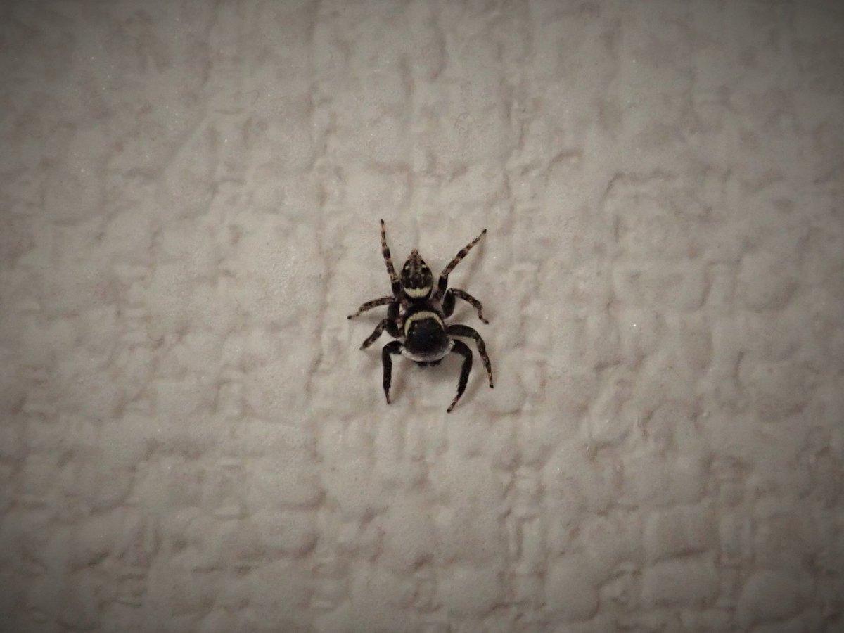 軍曹 蜘蛛