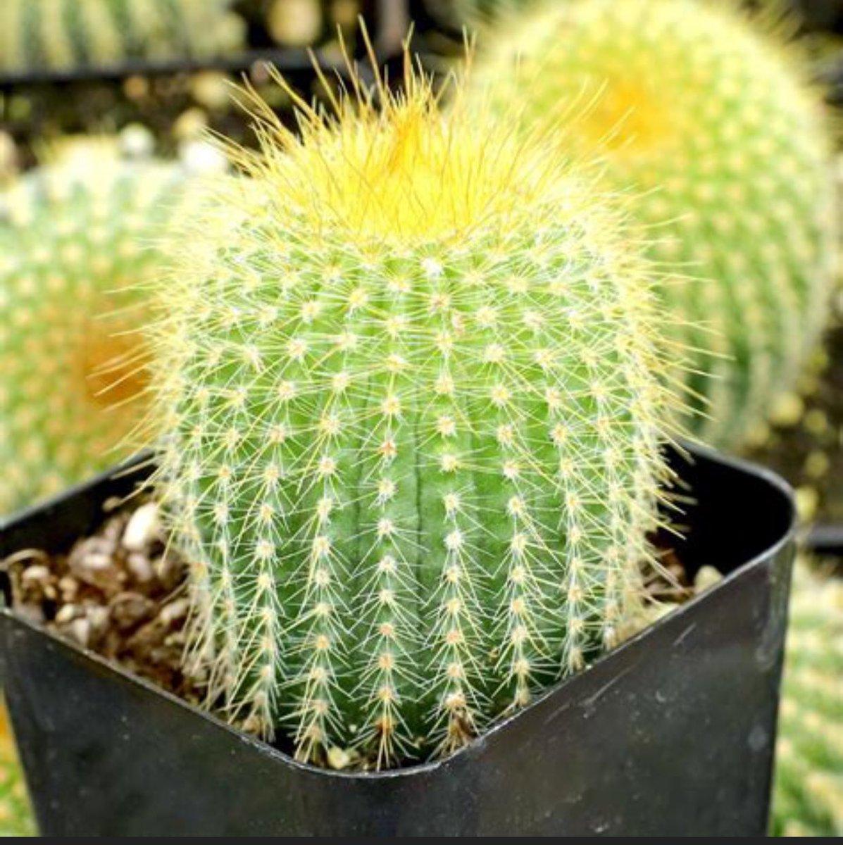 Potgrond Voor Cactussen.Verspenen Hashtag V Twitter