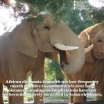 Image for the Tweet beginning: Happy #EleFunFactFriday!African elephants in musth