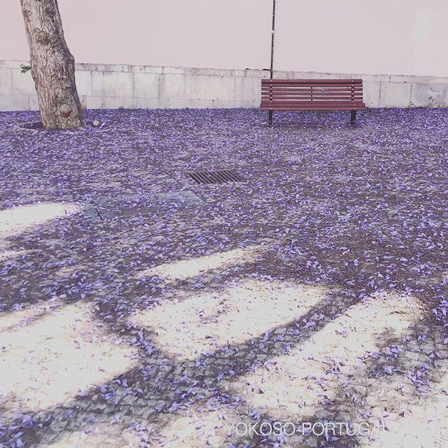 test ツイッターメディア - 散ってもきれいなジャカランダの花。地面を紫色に染め上げます。 #ポルトガル #ジャカランダ https://t.co/0qRNJpsLpw