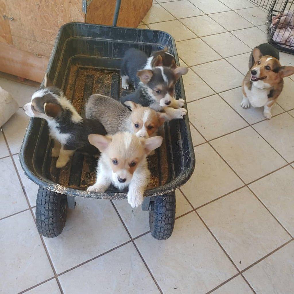 Corgi Puppies For Sale (@corgi_sale) | Twitter