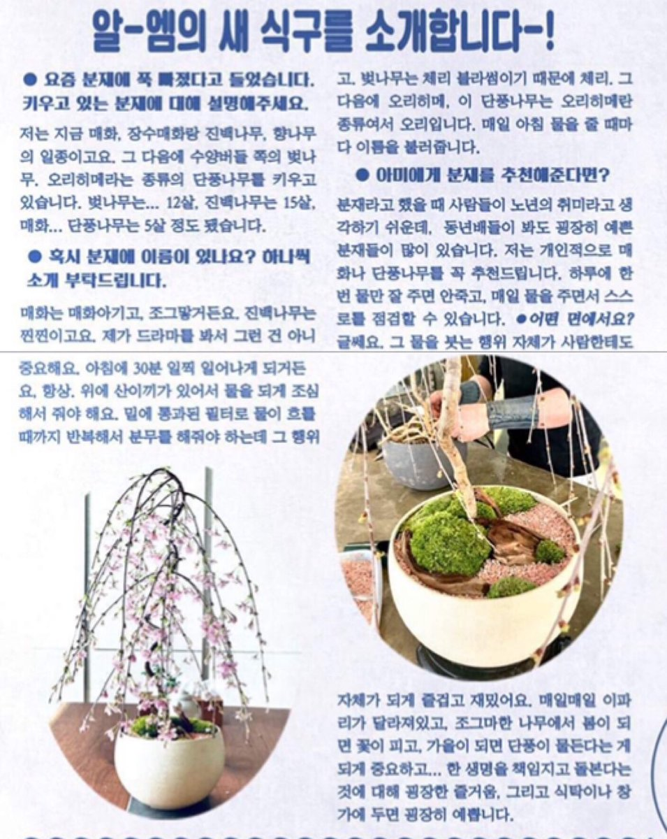 Á´®á´±soo Choi On Twitter Q You Are Hooked On Bonsai Nowadays Please Introduce What You Grow Rm I Grow Apricot Flower Maule S Quince Green Mound It S A Kind Of Juniper Weeping Willow Style Cherry
