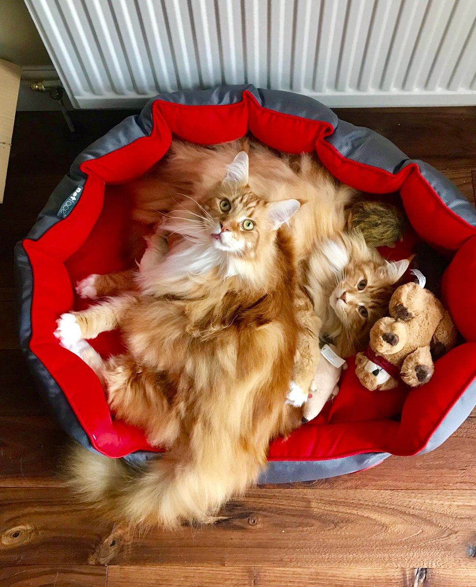 A big old basket of double marmalade delight for #Caturday! Mum and Dadmin are off to Cyprus for a well earned bit of sun and relaxation - we've got the lovely Auntie Lyon looking after us for the next 2 weeks! Have a lovely weekend everyone! #teamfloof <br>http://pic.twitter.com/PO9jQeXsN6