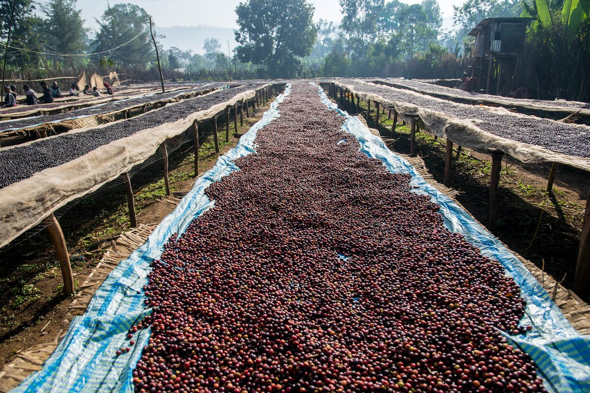 Ethiopian coffees are landing en masse. Taste some of the best in this purchasing-focused cupping: ow.ly/eusX30oJAON #thecrownOAK