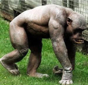 毛の無いチンパンジーは筋肉のエグさが際立ってる…