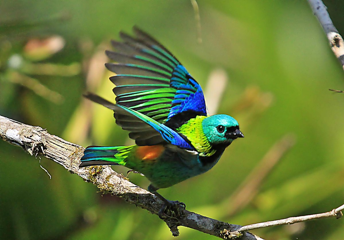 Image result for seven colored tanager pictures