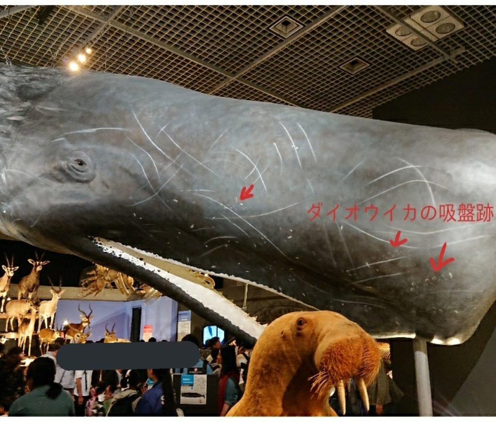 国立科学博物館の特別展「大哺乳類展2」に行ってきました! 会場内には陸生海生問わず、哺乳類の骨格標本や剥製などがずらーーっと並んでいて圧巻でした。 そんな中で、イカの痕跡やイカの文字を見つけることができました。 皆様も是非探してみてくださいね😉 #大哺乳類展2