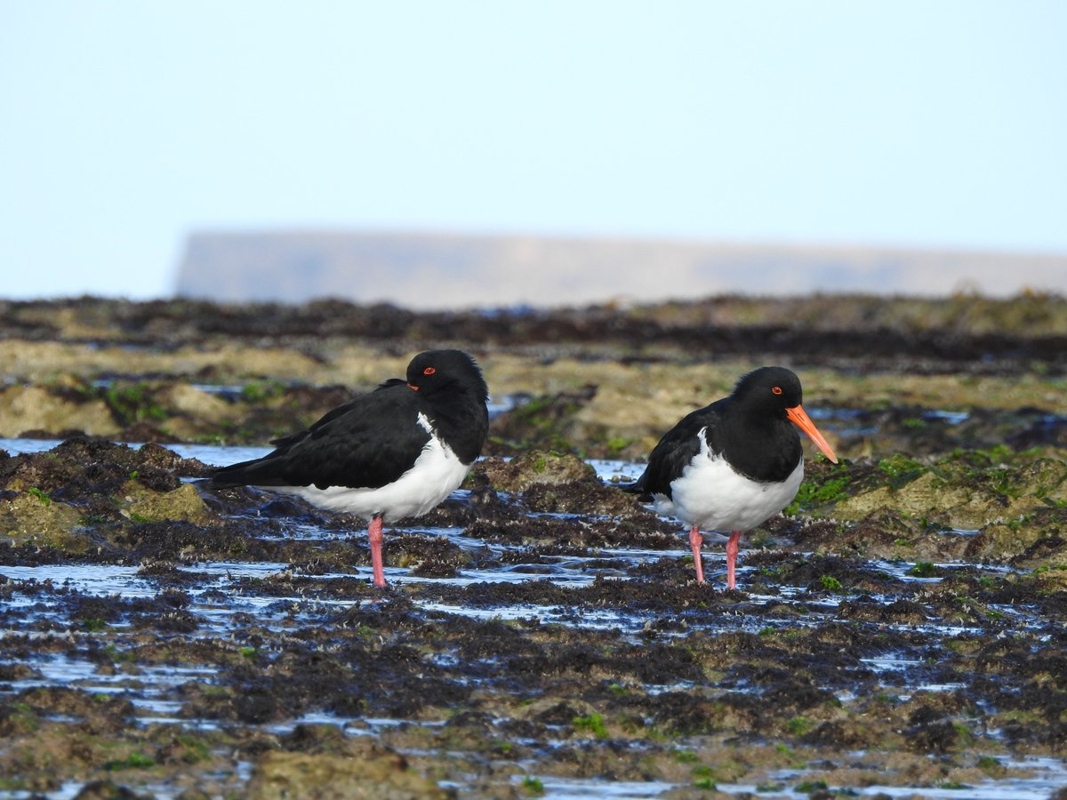 Pied Oystercatchers at Yambuk yesterday morning, with Deen Maar or Lady Julia Percy Island in the background #birds #Ozbirds #WildOz #SouthWestVictoria<br>http://pic.twitter.com/3mNLZjl2f5