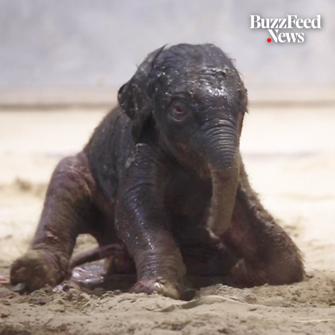RT @BuzzFeedNews: This baby elephant's first wobbly steps might be the cutest thing you'll see today 🐘🤗 https://t.co/Aj498Hc7ii