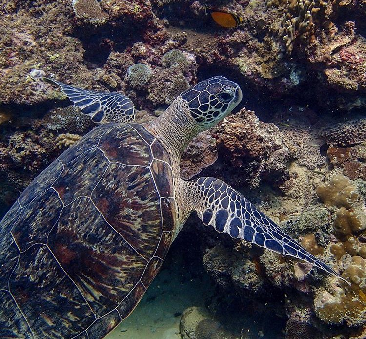 It is time for serious action: most Sea Turtles have been classified as Endangered. 🐢  Sea Turtles have been on Earth for about 110 million years (since the time of the Dinosaurs!) and they need our help.  #LionsShare is determined to preserve this species.   📸: UNDP Djibouti