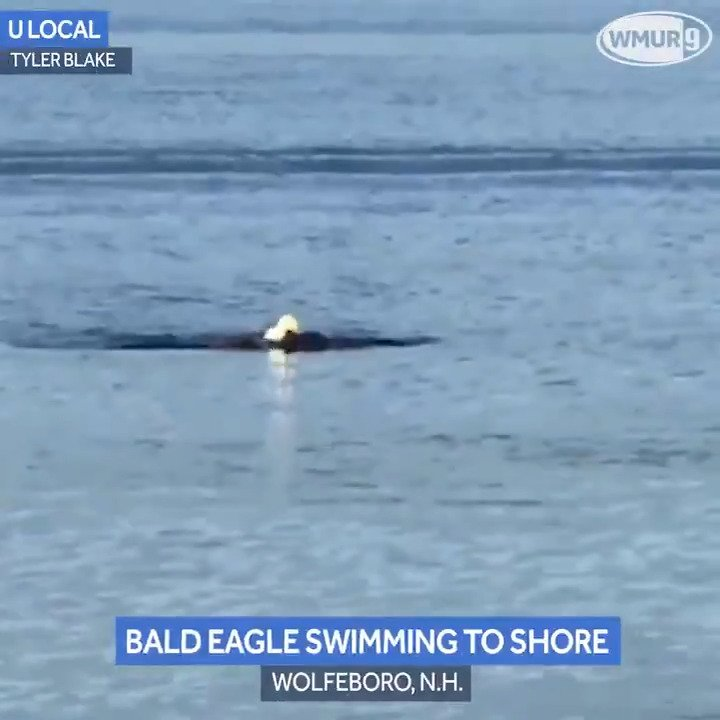 Bald Eagle Caught Elegantly ... Swimming?