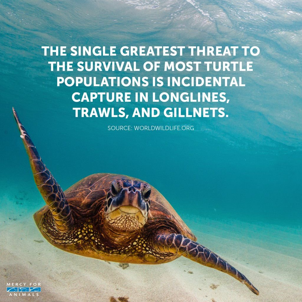 The single greatest threat to turtles is fishing gear.  Are you still eating fish?  #WorldSeaTurtleDay #SeaTurtleDay #WorldTurtleDay #TurtleDay<br>http://pic.twitter.com/z3uPYLnSvH