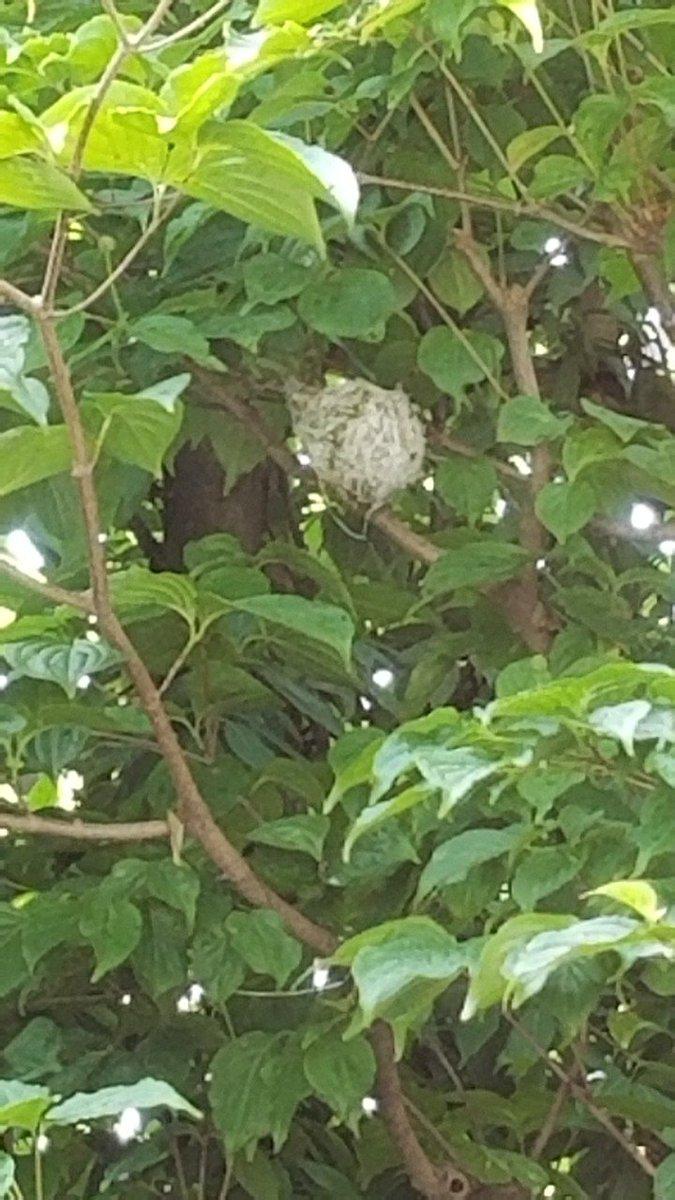 うちの庭木にメジロちゃんの巣が。 びわを置いてみました。
