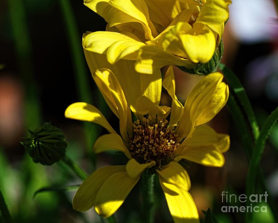 8fde055a0d3b happiness photography daisies floral dallas texas dianamarysharpton