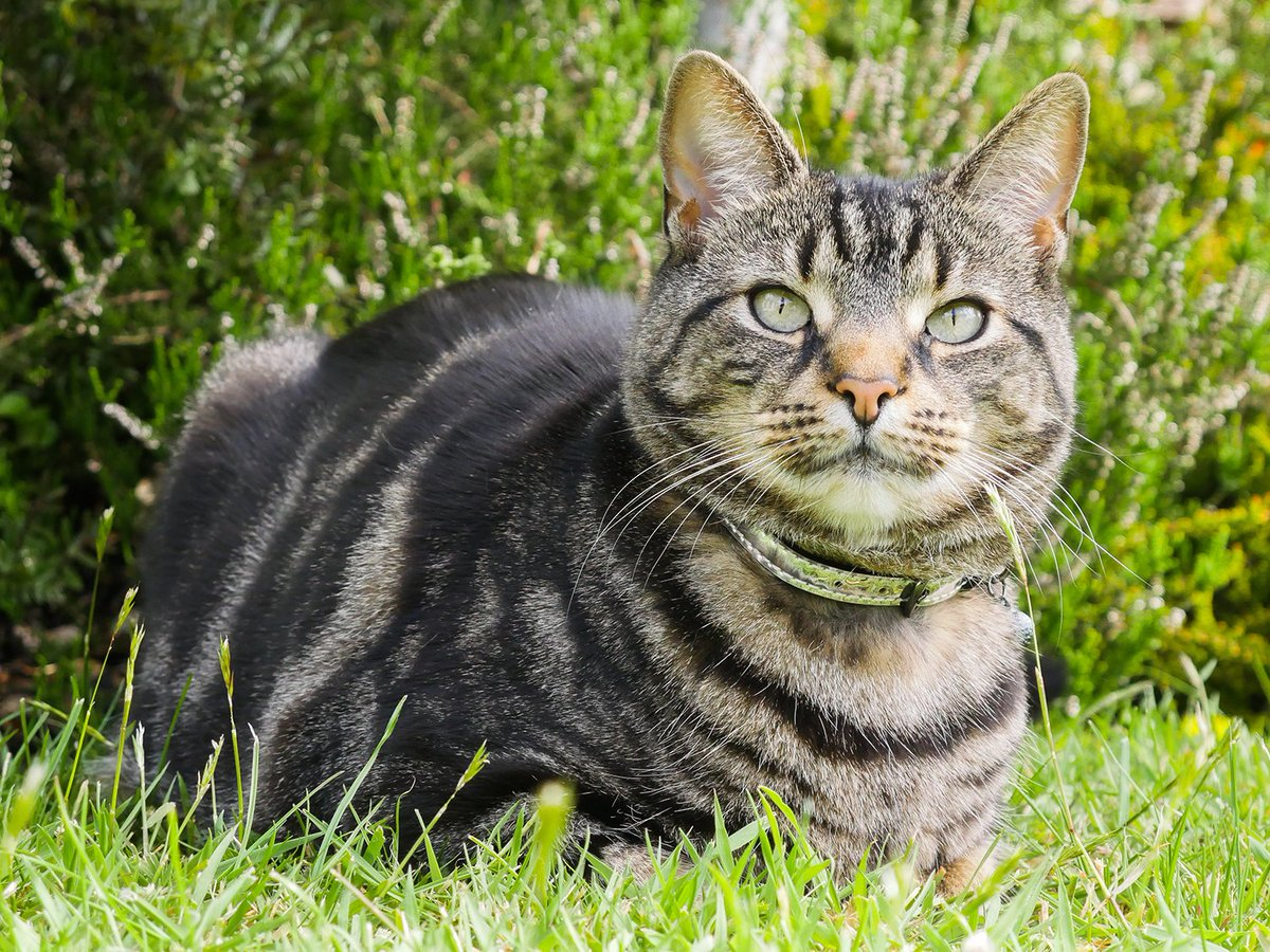 With Wedding season upon us will your purr-fect friend be in attendance on your big day?   Why not treat them to one of our luxury cat collars!  #Rosewoodpet #Rosewoodcat #purr-fect #cat #catsatweddings #beautiful #stripes #stripycat # catsofinstagram
