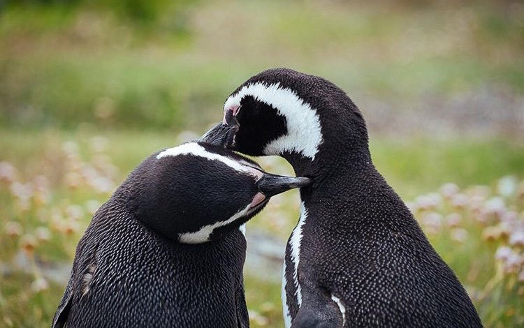 These Argentinian Penguins share a sweet grooming session with each other. They remind us how we all need each other to survive and thrive. 🐧  The #LionsShare is an easy way to raise money for wildlife conservation and animal welfare.   📸 @julieaucoin