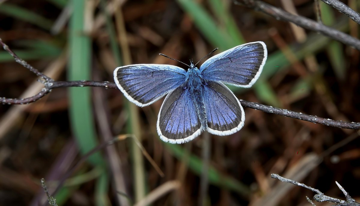 Even though the weather is pretty abysmal today, I saw my first male Silver-studded Blue on St Catherine's Hill, Christchurch, Dorset.  #worldbutterflyfest  @BC_Dorset @NatureofDorset<br>http://pic.twitter.com/4GnqNYXRhL