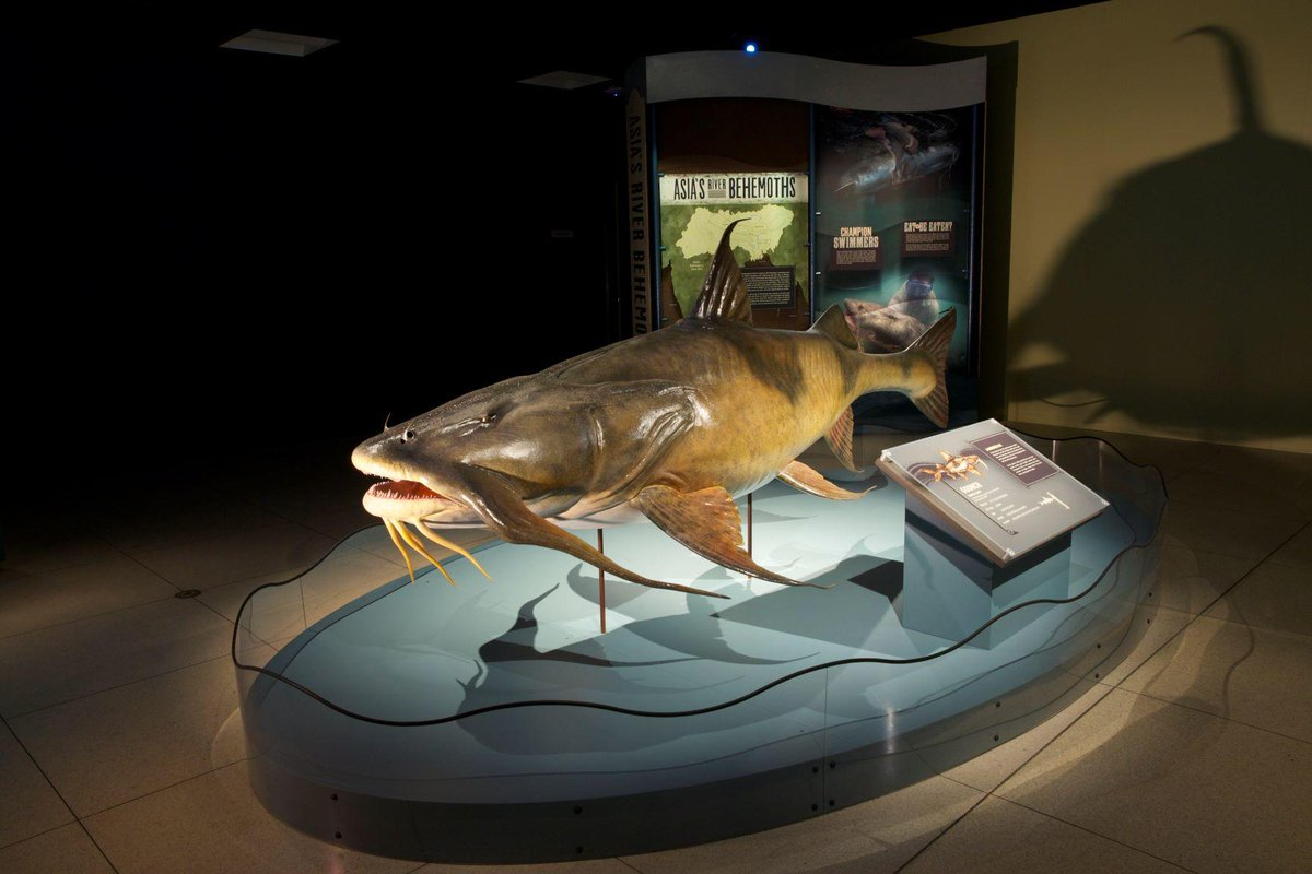 Our limited-time traveling exhibition Monster Fish opens at @FernbankMuseumthis Saturday! Check out this incredible article from @FOX5Atlantaand stop by the museum to learn all about these freshwater giants.   http://onnatgeo.org/Rt