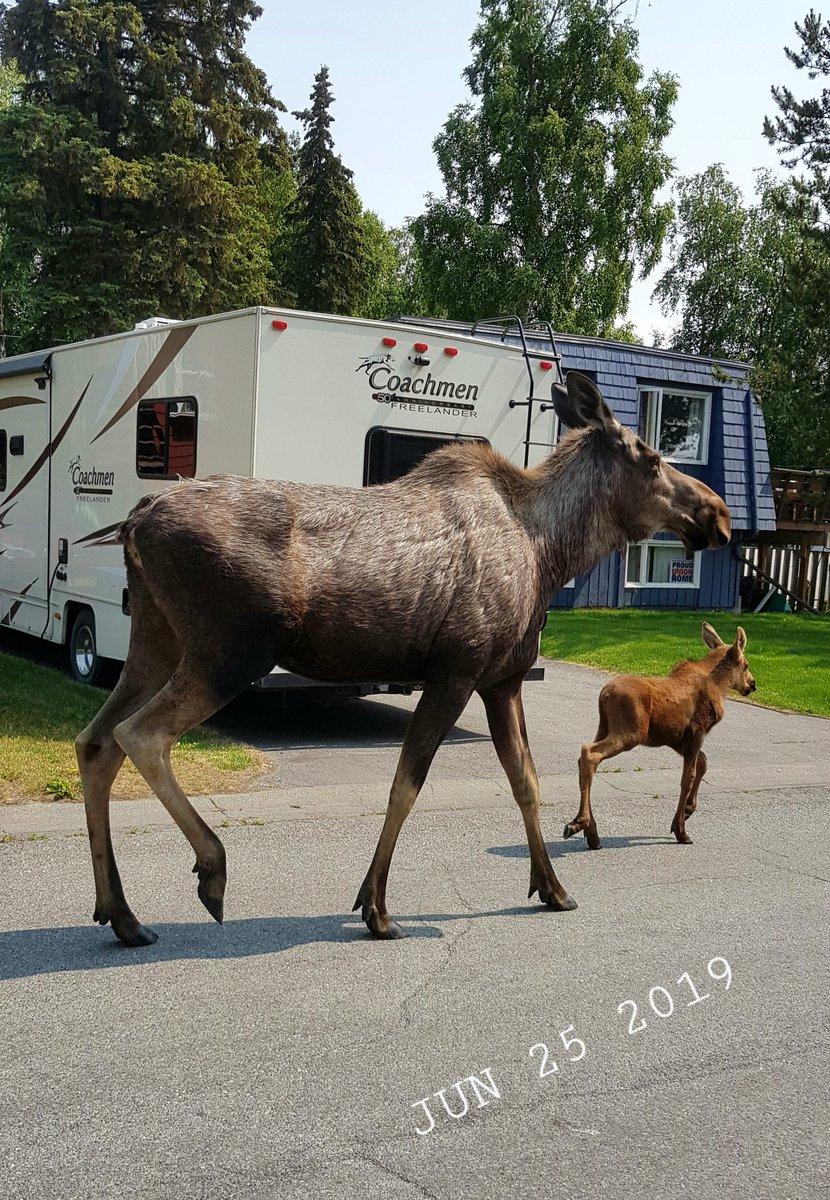 Momma #moose & calf. South Anchorage, Alaska. Today. <br>http://pic.twitter.com/Wjsuq4lz5U