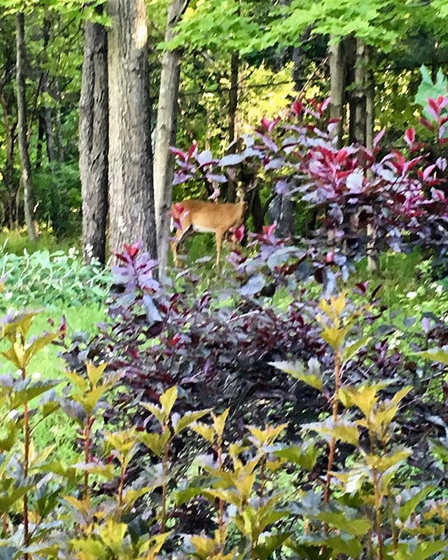 edddsrs#ohdeer! Look at who I just found in my side #garden. I'd better #spray all my #plantings before I head out. #country #wildlife  http:// bit.ly/2IFJiUa      ;c<br>http://pic.twitter.com/scYFdGiok5