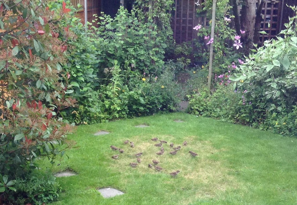 Darn it! The sparrows have discovered the grass seeds!   (Made me smile though!)  #wildlife #biodiversity #gardening<br>http://pic.twitter.com/58z5vCRBPv