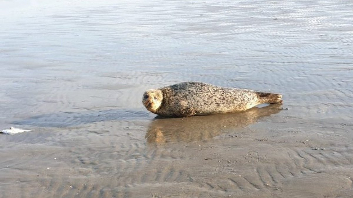 #Beach goers in #IJmuiden, #TheNetherlands are being terrorized by a #Scot named Bob, who is fiercely opposed to sharing the sand & sea breeze.  Bob will chase people and try to bite them.  Bob is a #seal.  #BobTheSeal #ScottishTerrorism  Source (#Dutch) https://www.nhnieuws.nl/nieuws/248226/strandbezoekers-ijmuiden-gewaarschuwd-voor-zeehond-bob-ik-bijt-je…