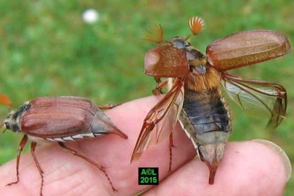 Plusieurs personnes m ont interpellé sur la présence d insectes jugés dangereux.Ce sont des hannetons sortant le soir à cause de la chaleur et volent dans les arbres.C'est l'accouplement. Le hanneton est inoffensif et ne pique pas; il joue un rôle important dans la pollinisation https://t.co/qTw9e3pNxm