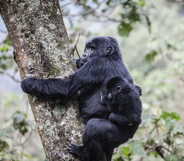Have a luxury gorilla trek in Rwanda that is worth every penny you paid. The memories you get are worth it!  https://t.co/nrEbGziutd #Rwandagorillasafari #GorillasafariRwanda #Rwandagorillatour #GorillatourRwanda #Rwandagorillatrekkingsafari #GorillasafariinRwanda https://t.co/OMpX5ShlHr