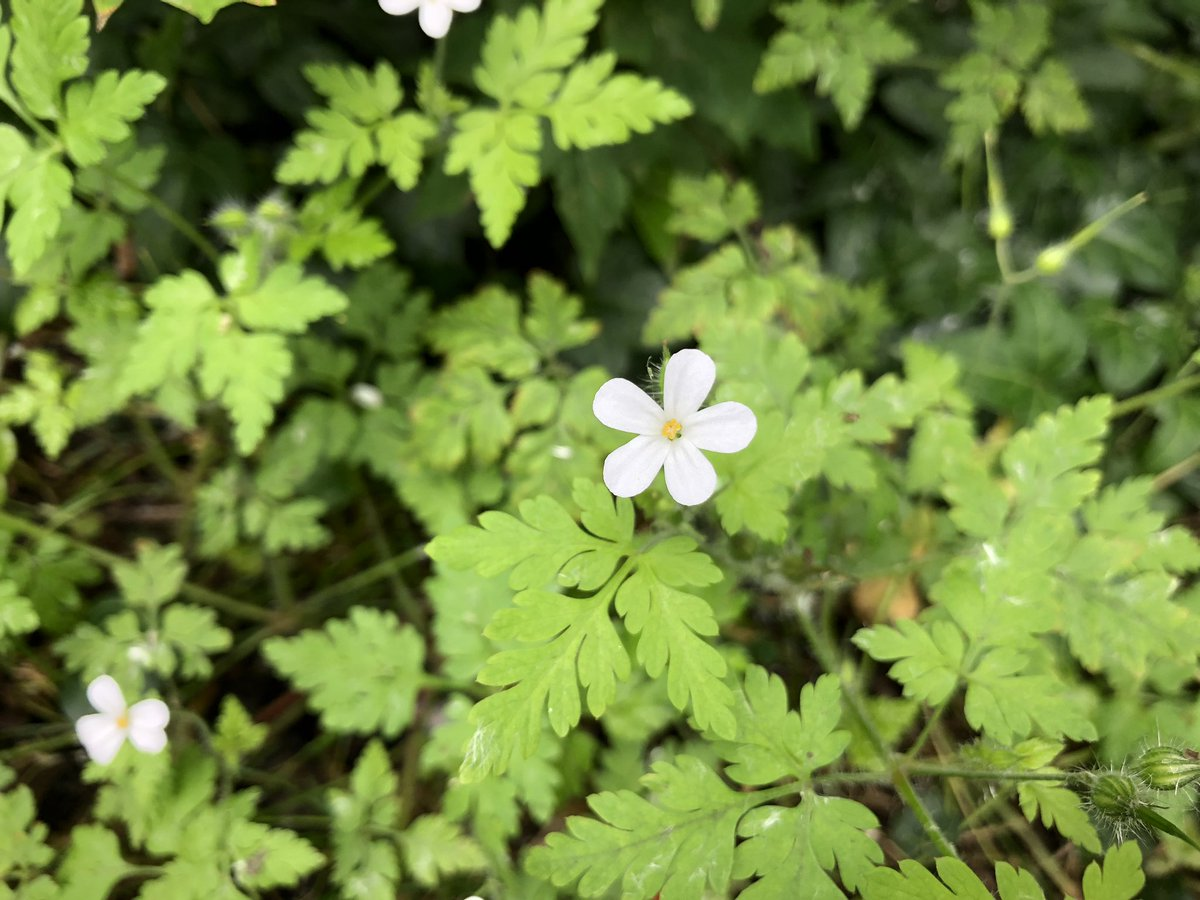 A pretty white variant of Herb Robert, Geranium robertianum, spotted growing in the woods today. #wildflowerhour https://t.co/IAeeHlqE4c