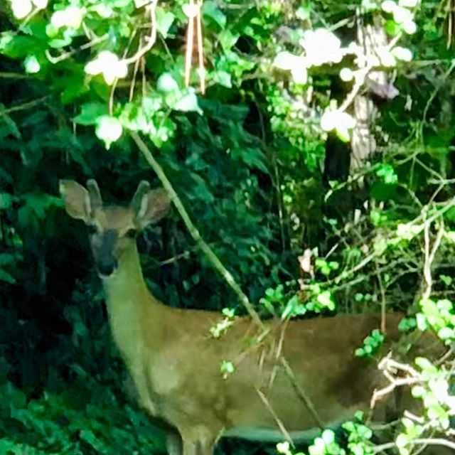 You never know who you're going to run into during your morning walk.  #OhDeer #Deer #Doe #Walk #MorningWalk #Atlanta #Georgia #Wildlife  View on IG: http:// zpr.io/g5ZCj      <br>http://pic.twitter.com/sHLTZ3Y91y