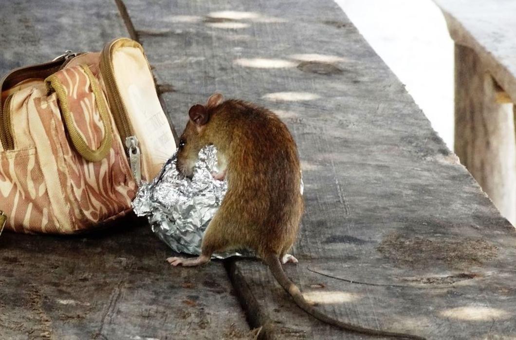 test Twitter Media - Rattenplaag in Kalmthout. #atvnieuws #ratten #kalmthout  https://t.co/JN55Y8YTQw https://t.co/LCfli7EtoR