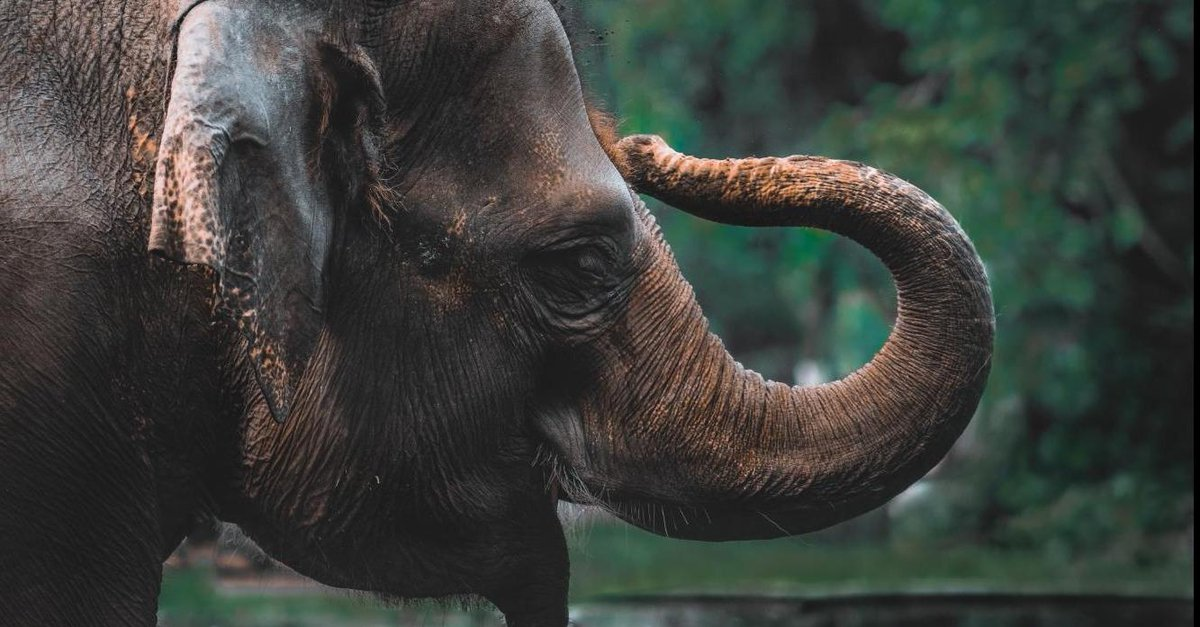 Study finds Asian elephants judge quantities by smell http://bit.ly/2X6RxBF