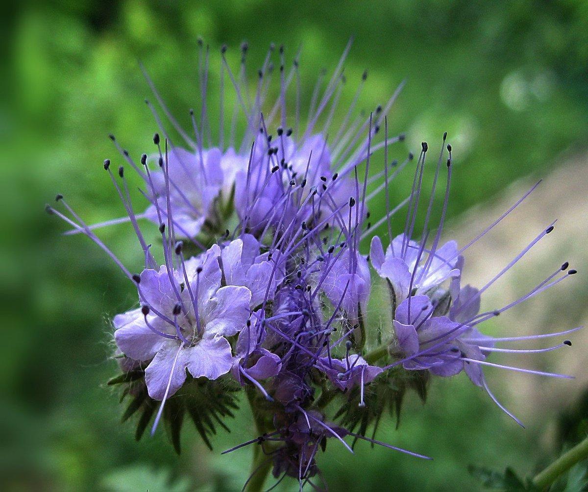 Медоносные растения с картинками