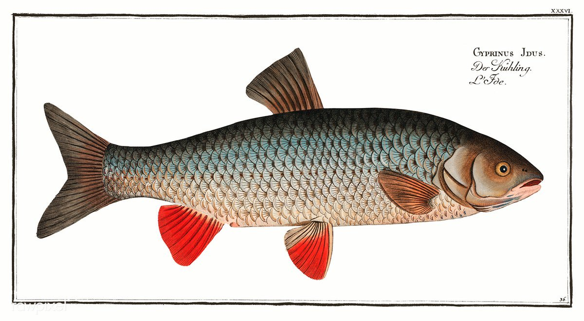 Idus-Carp (Cyprinus Idus) from Ichtylogie, ou Histoire naturelle: génerale et particuliére des poissons (1785–1797) by Marcus Elieser Bloch. Original from New York Public Library. Digitally enhanced by rawpixel. Download this image: http://rawpixel.com/board/938140/ichtyologie-ou-histoire-naturelle…