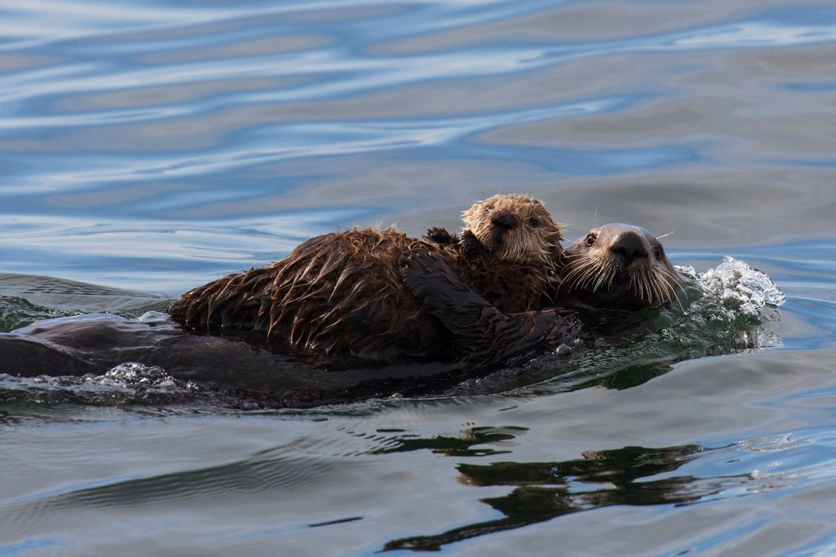 Beautiful photo of sea otter mom CSG199 and her pup taken today in the waters of Tofino, Vancouver Island. The mother will produce milk, hunt and teach her pup how to dive for food until the youngster is 5 to 8 months old and can fend for itself. Photo by Jamie's Whaling Station. <br>http://pic.twitter.com/Ce6zfaBh9K