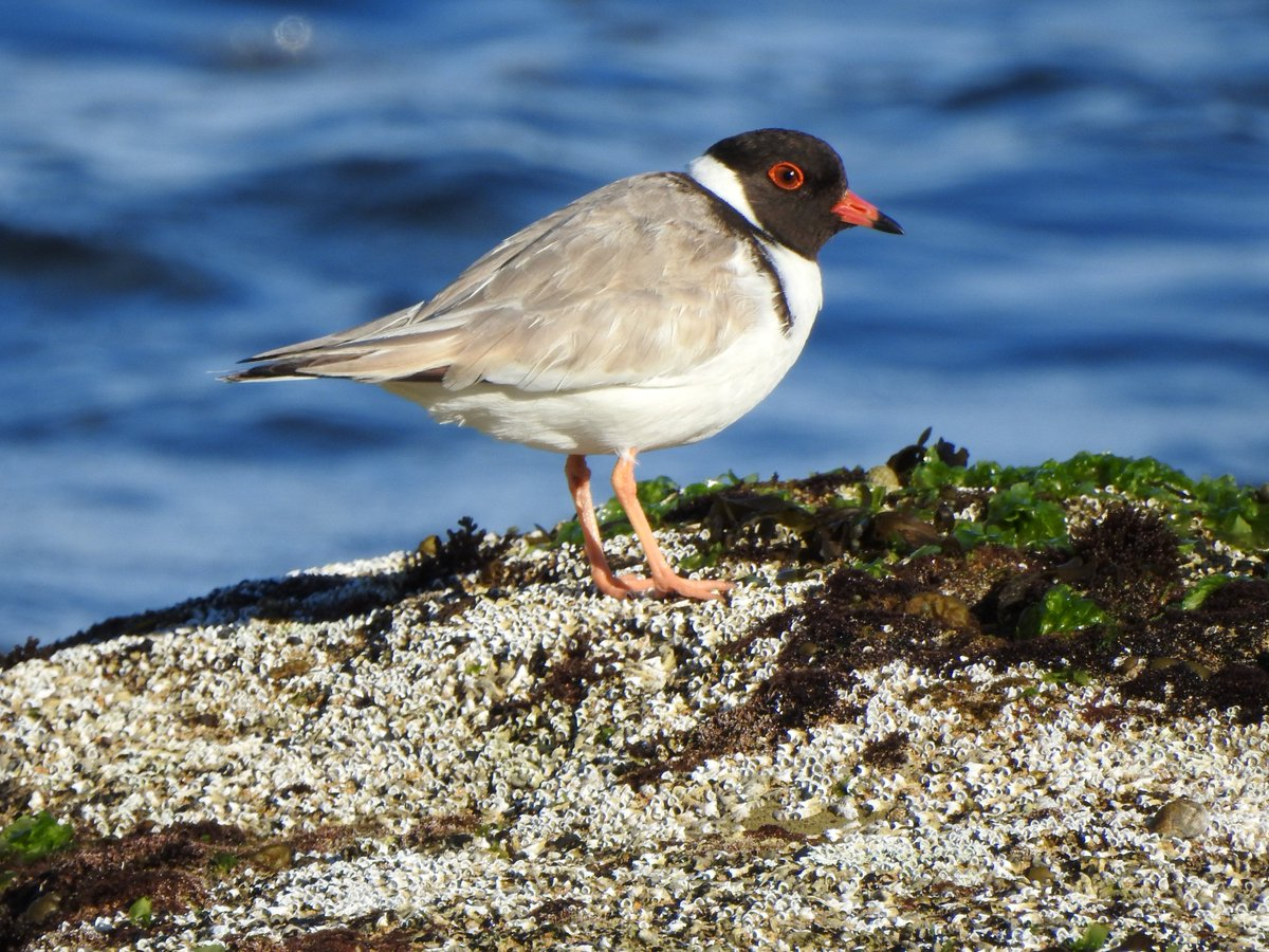 RT @kerrybv1: Hooded Plover in #SouthWestVictoria #birds #Ozbirds #WildOz https://t.co/lX5Q44ssxY