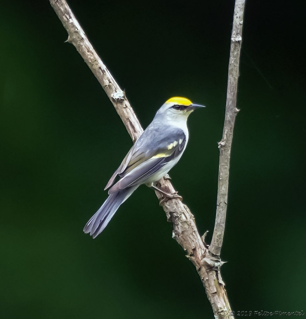 Brewster's Warbler (Dendroica castanea). Seen in Sterling Forest, Orange County, NY. #NYbirds #Nybirding #birding #biders #warblers<br>http://pic.twitter.com/Em5wImxELt