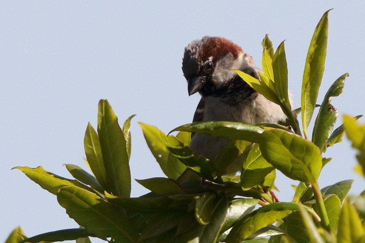 House Sparrow in my garden @BirdWatchingMag @BBCSpringwatch @Natures_Voice<br>http://pic.twitter.com/OeKYhKu3b8